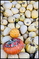 Small squashes and pumpkins. California, USA (color)