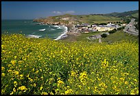 Yellow mustard flowers, beach and highway, Pacifica. San Mateo County, California, USA ( color)