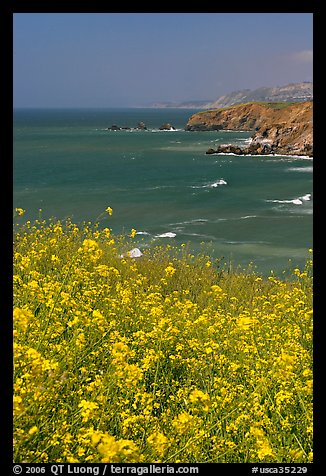 Yellow mustard flowers, coastline with cliffs, Pacifica. San Mateo County, California, USA (color)