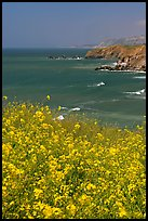 Yellow mustard flowers, coastline with cliffs, Pacifica. San Mateo County, California, USA