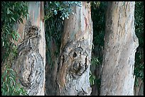 Three Eucalyptus tree trunks. Burlingame,  California, USA (color)
