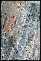 Bark of ucalyptus tree trunk. Burlingame,  California, USA (color)