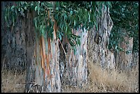 Trunks and leaves of Eucalyptus trees. Burlingame,  California, USA (color)