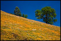 Poppies and Oak trees on hillside. El Portal, California, USA ( color)
