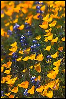 Poppies and lupine. El Portal, California, USA ( color)