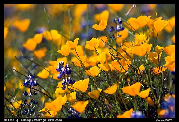 Close-up of poppy and lupine flowers. El Portal, California, USA (color)