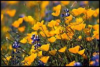 Close-up of poppy and lupine flowers. El Portal, California, USA ( color)