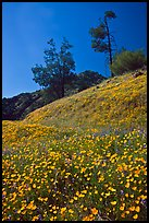 Hills with carpets of flowers and trees. El Portal, California, USA ( color)