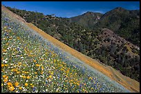 Poppies, popcorn flowers, and lupine on slope. El Portal, California, USA ( color)