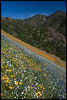 Wildflower blanket and Sierra foothills. El Portal, California, USA (color)