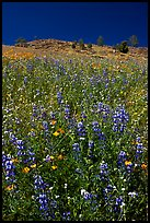 Lupine and hill. El Portal, California, USA ( color)