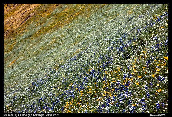 Slope covered with filed of spring wildflowers. El Portal, California, USA (color)