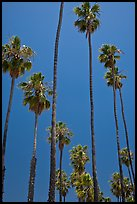 Tall palm tres against blue sky. Santa Barbara, California, USA ( color)