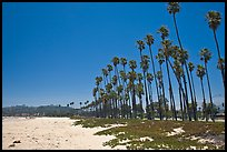 East Beach and palm trees. Santa Barbara, California, USA ( color)