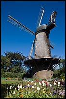 Tulips and Historic Dutch Windmill, Golden Gate Park. San Francisco, California, USA ( color)