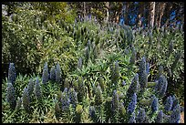Pride of Madera flower (Echium sp.) and Eucalyptus grove, Golden Gate Park. San Francisco, California, USA (color)