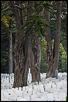 Gravestones and trees, San Francisco National Cemetery, Presidio. San Francisco, California, USA (color)