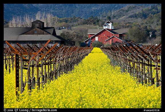 Mustard flowers, vineyard, and winery building. Napa Valley, California, USA
