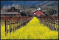 Mustard flowers, vineyard, and winery building. Napa Valley, California, USA (color)