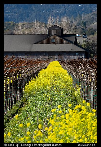 Spring mustard flowers and winery. Napa Valley, California, USA (color)