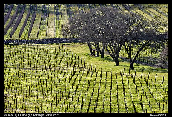 Vineyard in spring seen from above. Napa Valley, California, USA (color)