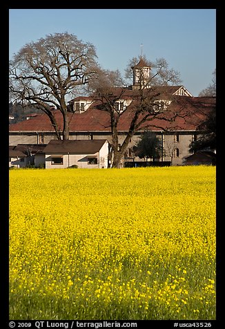 Yellow mustard flowers field and winery. Sonoma Valley, California, USA