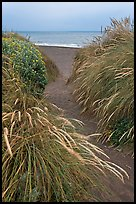 Path amongst dune grass and Ocean, Manchester State Park. California, USA ( color)