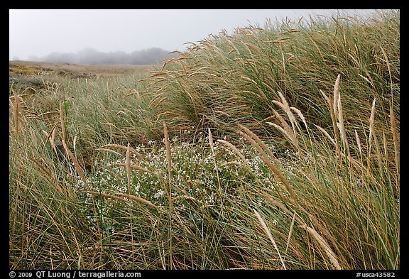 Tall grasses and fog, Manchester State Park. California, USA (color)