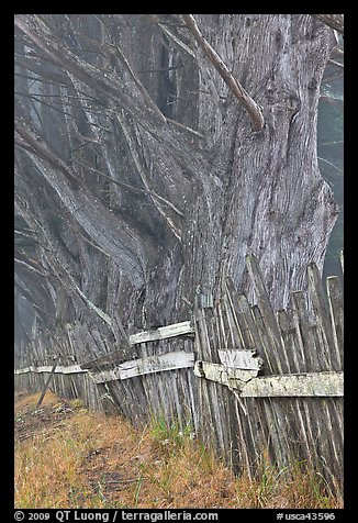 Twisted trees and old fence in fog. California, USA (color)