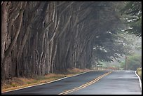Tree tunnel in fog. California, USA (color)