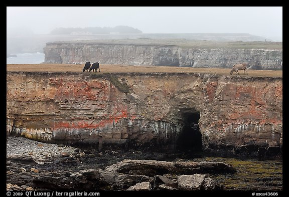 Coastal cliffs and cows in fog. California, USA