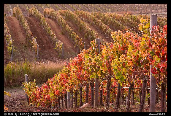 Wine grape vines in vineyard in fall. Napa Valley, California, USA