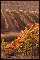 Golden fall colors on grape vines. Napa Valley, California, USA (color)