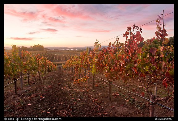 Autumn Sunset over vineyard. Napa Valley, California, USA (color)