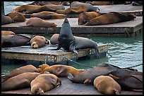 California Sea lions, pier 39, Fishermans wharf. San Francisco, California, USA (color)
