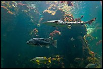 Northern California fish, Steinhart Aquarium,  California Academy of Sciences. San Francisco, California, USA<p>terragalleria.com is not affiliated with the California Academy of Sciences</p> (color)