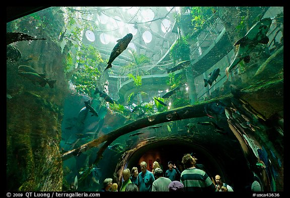 Tourists gaze upwards at flooded Amazon forest and huge catfish, California Academy of Sciences. San Francisco, California, USA (color)