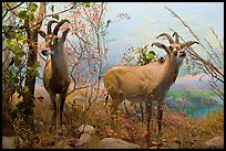 Diorama, African Hall, Kimball Natural History Museum, California Academy of Sciences. San Francisco, California, USA<p>terragalleria.com is not affiliated with the California Academy of Sciences</p> (color)