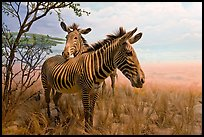Zebras in savanah landscape,  Kimball Natural History Museum, California Academy of Sciences. San Francisco, California, USA ( color)