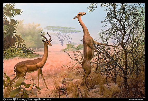 Gazelles diorama, Kimball Natural History Museum, California Academy of Sciences. San Francisco, California, USA (color)