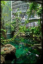 Inside rainforest dome, with flooded forest below, California Academy of Sciences. San Francisco, California, USA ( color)