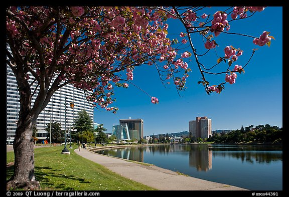 Tree in bloom on the shore of Lake Merritt. Oakland, California, USA (color)