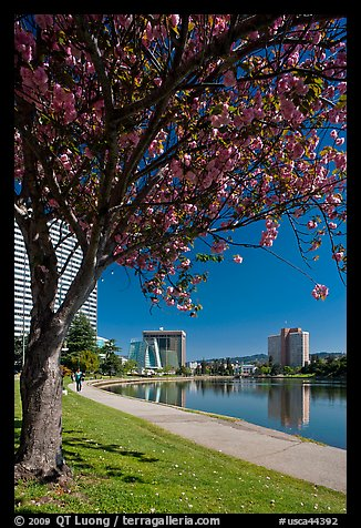 Lake Merritt in the spring with  Pink Flowering Almond. Oakland, California, USA (color)