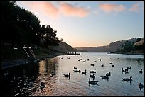 Large flock of ducks at sunset, Lake Chabot, Castro Valley. Oakland, California, USA (color)