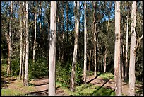 Eucalyptus grove, Tilden Regional Park. Berkeley, California, USA (color)