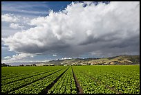 Field of vegetable and cloud. Watsonville, California, USA (color)