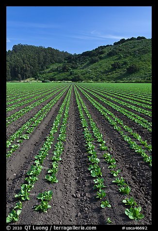 Vegetable farming. Watsonville, California, USA (color)