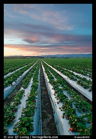 Strawberry plasticulture, sunset. Watsonville, California, USA