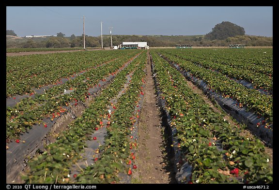 Strawberry farm. Watsonville, California, USA (color)