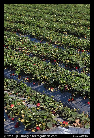Strawberry crops on raised beds. Watsonville, California, USA (color)